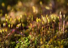 Moss Flower Stock Image