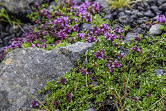 Moss Flowers Royalty Free Stock Photography
