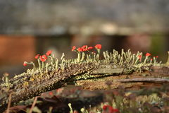 Moss flowers Royalty Free Stock Photos