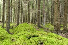 Moss in forest. Royalty Free Stock Image
