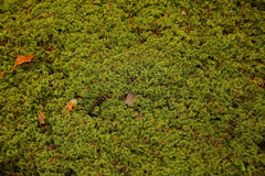 The moss Royalty Free Stock Photos