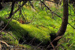 Close up moss in the deep pins forest Stock Photo
