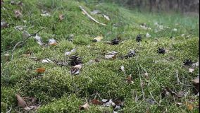 Moss in the forest. Moss and cones in the forest stock video footage