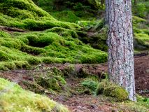 Moss Forest en Escocia Fotos de archivo