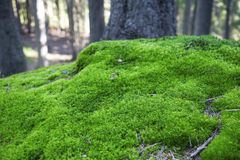 Moss in the forest Royalty Free Stock Photos