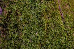 Moss on the forest ground. Green natural plant stock photos