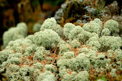 Moss in forest. Inner Mongolia,china Stock Photo