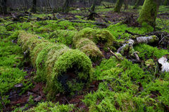 Moss in forest Royalty Free Stock Photos