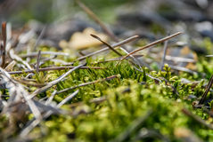 Moss in the forest. In spring Royalty Free Stock Photos