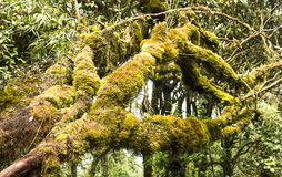 Mossy forest Cameron highlands Malaysia. Moss on a tree trunk in deep rain forest of Cameron Highlands, Malaysia Royalty Free Stock Images