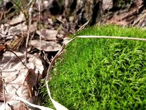 Moss in the forest royalty free stock photo