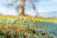 Moss fruiting bodies with tree in background Royalty Free Stock Images