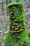 Moss and fungi covered tree stump. Moss and fungus covered tree stump in forest. Vertical photo Stock Photos
