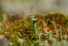 Moss fungus macro background slime Royalty Free Stock Photo