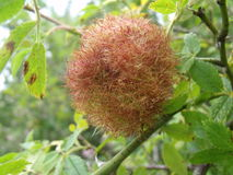 Moss Gall On Dog Rose. Also called rose bedeguar gall, or Robin's pincushion gall, moss gall is caused by a gall wasp and can be found on dog rose and field rose Stock Photo