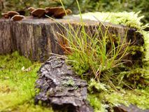 Moss and Grass Growing in Forest on Tree Stump Close Up Macro. Close Up macro detail of bright green moss and grass growing on tree stump in forest stock photography