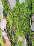 Moss on gray reddish bark of a pine trunk Royalty Free Stock Photos