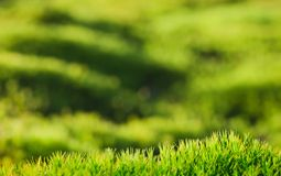 Moss green background. Polytrichum Commune Royalty Free Stock Photography