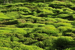 Moss green background. Polytrichum Commune Stock Photography