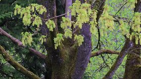Moss and green blossoms cover large tree in spring. In washington state stock video