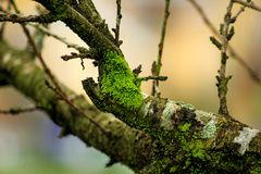 Moss Green on the branches. Moss green that grows on the branches because of the moisture of rain Stock Photos