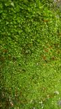 moss green fungus on the wall royalty free stock photo
