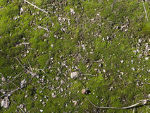 Moss green. Interspersed with seeds and old leaves in spring Stock Photo