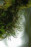 Moss Green on a long wooden rod. Moss green up massively on a long wooden rod.Moss green, moist intensively on a long wooden rod stock image