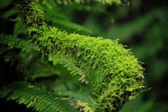 Moss Green on a long wooden rod. Moss green up massively on a long wooden rod.Moss green, moist intensively on a long wooden rod Royalty Free Stock Photos