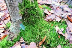 Moss. Green moss on a tree in autumn Stock Photography