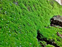 Moss. Green mosses covering the stone Royalty Free Stock Photos