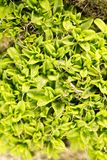 Moss green in nature. macro. In the park in nature Stock Image