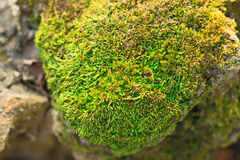 Moss green plant on stone. Moss green plant on stone Royalty Free Stock Photography