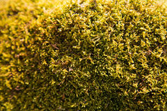 Moss. Green moss on rock in summer time Stock Photo