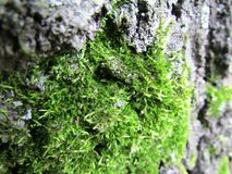 Moss. Green soft moss on tree bark Stock Photos
