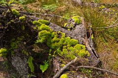 Moss green tree. Old in forest Stock Photo