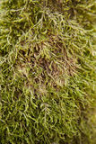Moss. Green moss on a tree trunk. The picture was taken in a forest during spring time Royalty Free Stock Photo