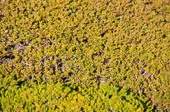 Moss Ground Cover Background Stock Photo