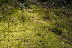 Moss Ground In The Forest Fotografia Stock