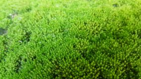 Moss is on the ground with moisture. Green nature background and texture Royalty Free Stock Photography