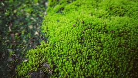 Moss is on the ground with moisture. Green nature background and texture Stock Images