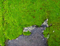 Moss growing on a concrete wall. Royalty Free Stock Photo