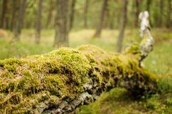 Moss growing on a fallen tree. Fallen tree covered by moss lies in a forest of the Slowinski National Park in Poland Stock Photo
