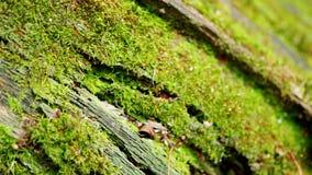 Moss growing on fallen tree. Macro shot. Pan down.