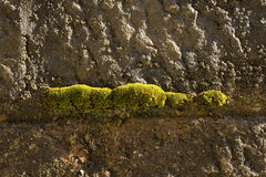 Moss. Growing on the inside wall of a lock on the canal de bourgogne, France Royalty Free Stock Image