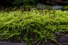Moss growing on a log. Moss growing on a log in Whitwell wood. Taken on a damp afternoon Stock Photos