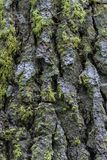 Moss Growing na casca da sequoia vermelha Foto de Stock Royalty Free