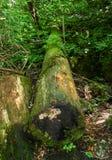 Moss Growing no grande tronco de árvore inoperante fotos de stock royalty free