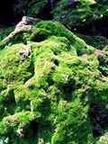 Moss. Growing on the old rock Royalty Free Stock Photos