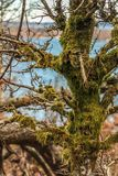 Moss growing on an old tree branches Royalty Free Stock Photos